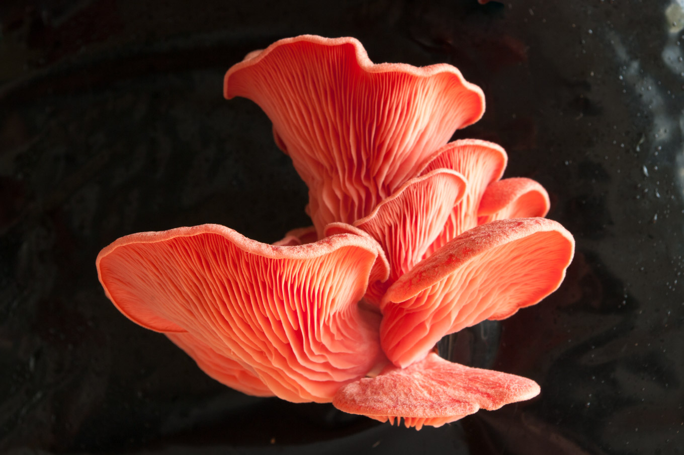 How to Grow Oyster Mushrooms – Growing your own mushrooms is exciting and yields amazing produce you can't buy in the shops. Learn how to grow your own mushrooms and get recipe ideas for what to do with your bounty. By @deliciouscratch | deliciousfromscratch.com